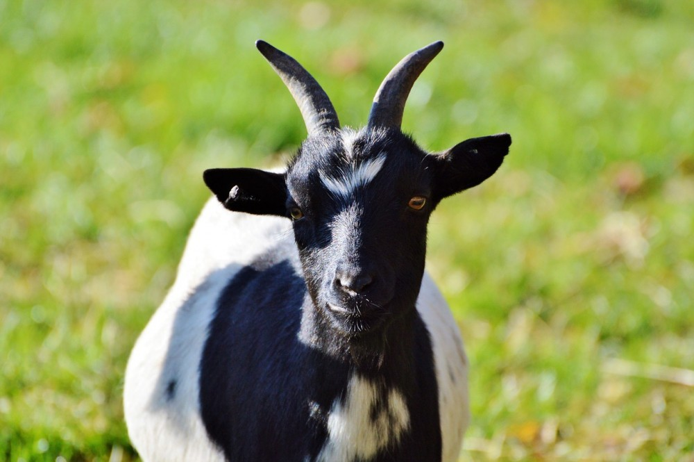 mleko modyfikowane kozie mleko